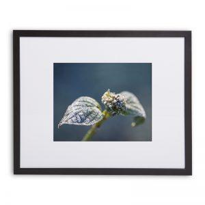 """Gerahmter Fotodruck """"Winterhortensie"""" 40cm x 50cm Rahmen mit Passepartout"""