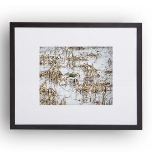 """Gerahmter Kunstdruck """"Wo ist die Ente"""" 40cm x 50cm Rahmen mit Passepartout"""