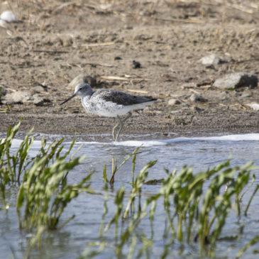 Deichsafai in Lüttmoorsiel – Naturfotografie Reußenköge